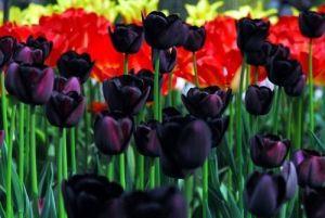 tulipa2